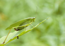 Katydid (Scudderia) Stock Photography