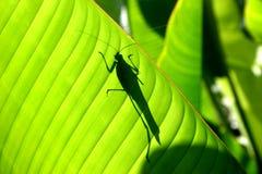 Katydid Silhouette Stock Image