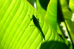 katydid sylwetka obraz stock
