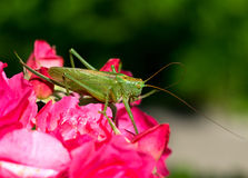 Katydid Tettigonia cantans Royalty Free Stock Photo