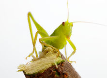 Katydid on twig Royalty Free Stock Image