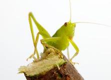 Katydid on twig. A closeup of a green katydid on a white background sitting on a twig Royalty Free Stock Image