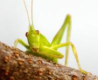 Katydid on twig. A closeup of a green katydid on a white background sitting on a twig Stock Photos
