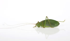 Katydid Two Stock Images