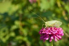 Katydid verdadeiro no Zinnia cor-de-rosa Imagens de Stock Royalty Free