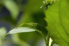 Katydid verde su una pianta di giardino verde Immagine Stock Libera da Diritti