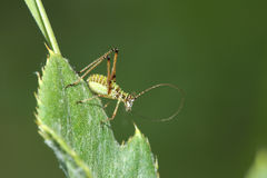 Katydids Royalty Free Stock Image