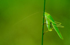 Katydids. Stay on a small a green katydids caocao stemsn Royalty Free Stock Photos