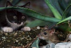 Katz, Mouse, Animal, Cute, Funny Royalty Free Stock Image