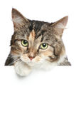 Katze über weißer Fahne Stockbild