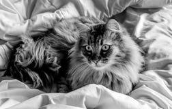 Katze auf Bett (B&W) Stockfotos