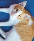 Katze auf blauem Stoff Lizenzfreies Stockfoto