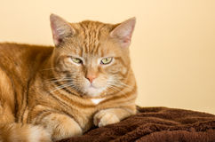 Katze auf Decke Lizenzfreie Stockfotografie