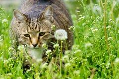Katze auf dem Gebiet mit einem Löwenzahn Stockfotografie