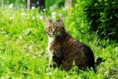 Katze auf dem Gebiet mit einem Löwenzahn Lizenzfreies Stockfoto