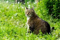 Katze auf dem Gebiet mit einem Löwenzahn Lizenzfreies Stockbild