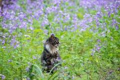 Katze auf dem Lavendelgebiet stockfotos