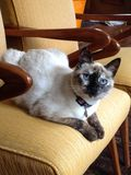 Katze auf dem Lehnsessel Lizenzfreies Stockbild