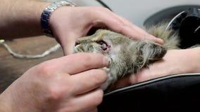 Katze auf dem Operationstisch Das Tier wird von der Bindehautentzündung abgewischt Tierarztklinik Doktor und Patient stock video