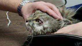 Katze auf dem Operationstisch Das Tier wird von der Bindehautentzündung abgewischt Tierarztklinik Doktor und Patient stock video footage