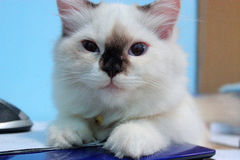 Katze auf dem Tisch Stockbilder