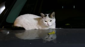 Katze auf der Haube stock footage