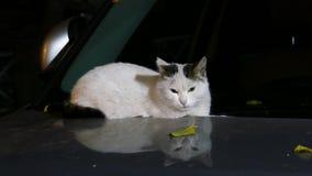 Katze auf der Haube stock video footage