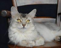 Katze auf einem hölzernen Stuhl Stockbild