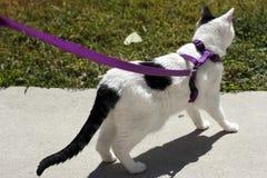 Katze auf einer purpurroten Leine Lizenzfreies Stockfoto