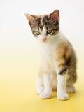 Katze auf gelbem Hintergrund Stockfoto
