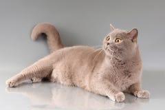 Katze auf grauem Hintergrund Lizenzfreies Stockbild