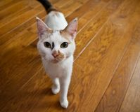 Katze auf hölzernem Fußboden lizenzfreies stockbild