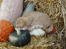 Katze auf Kürbisen Lizenzfreie Stockfotografie