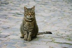 Katze auf Kopfsteinen Stockfoto