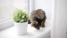 Katze auf riechender Blume des Fensterbretts im Topf zu Hause stock footage