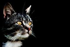 Katze auf schwarzem Hintergrund Lizenzfreie Stockfotografie