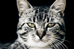 Katze auf schwarzem Hintergrund Stockfoto