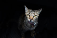 Katze auf schwarzem Hintergrund Lizenzfreie Stockfotos