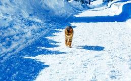 Katze auf Straße in der Gebirgswinterlandschaft Blickkontakt Lizenzfreies Stockbild