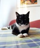 Katze auf Tabelle Lizenzfreies Stockfoto