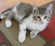 Katze auf Teppich Stockfotografie