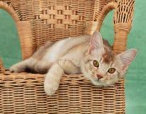 Katze auf Weidenstuhl Stockbild