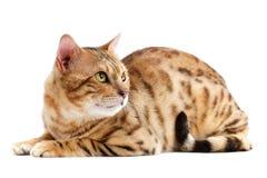 Katze-Bengal-Brut. stockbilder