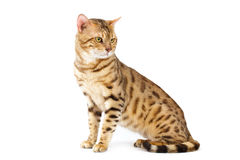 Katze-Bengal-Brut. stockfotos
