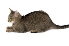 Katze betriebsbereit zu springen Lizenzfreies Stockbild