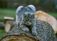Katze bevor dem Losstürzen Stockbilder