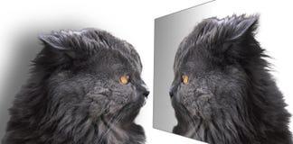 Katze, britisches langhaariges, blau Stockfotografie