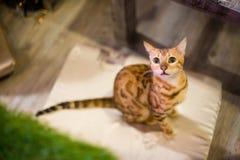 Katze Brown-Bengal Lizenzfreies Stockbild