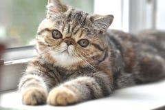 Katze Brown-exotischer Kurzhaarkatze, die auf dem Fensterbrett liegt stockfoto