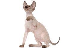 Katze Brown-Peterbald, orientalisches Shorthair Lizenzfreies Stockfoto